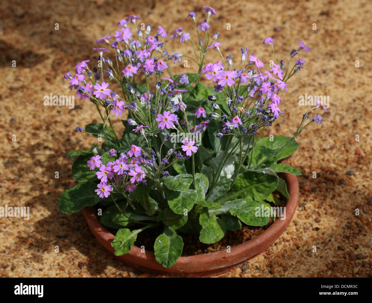 Bird's-eye Primrose, Primula farinosa, Primulaceae. An alpine flower found from Western Europe to China at high Stock Photo