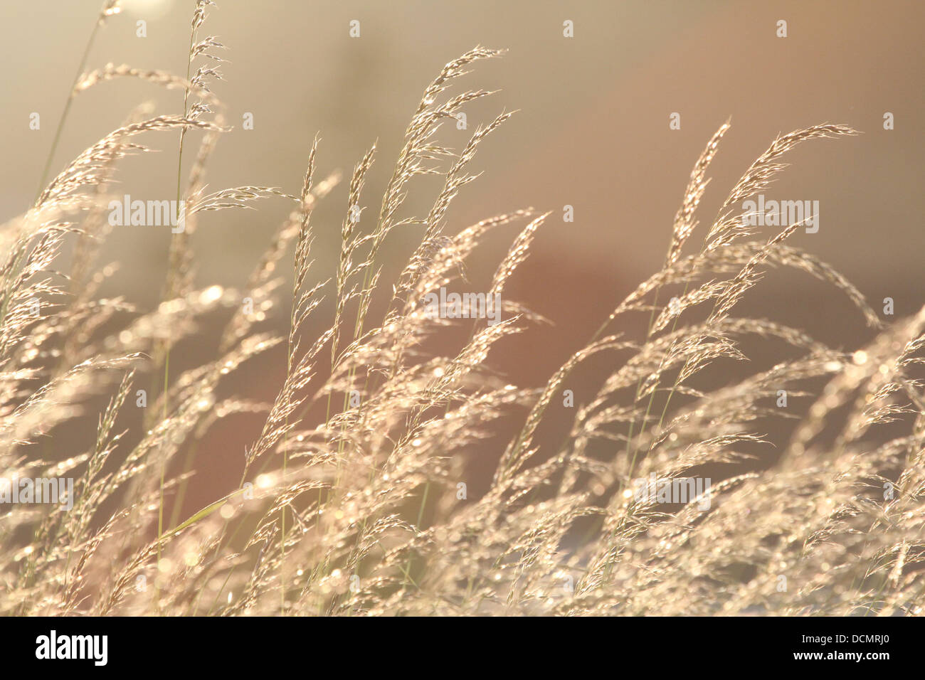 Hay or hay-like plant glistening in the sunlight one late spring or summers day in Hertfordshire, England, United - Stock Image