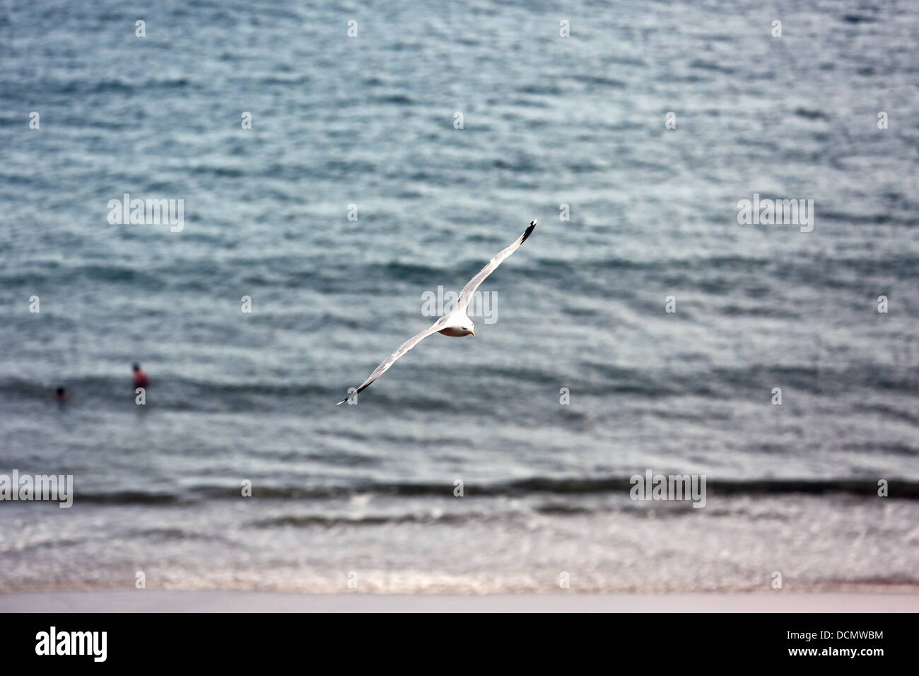 Tenby UK, Monday 19 August 2013  A seagull over the North Beach in Tenby Pembrokeshire.  Re: Seagulls displaying - Stock Image
