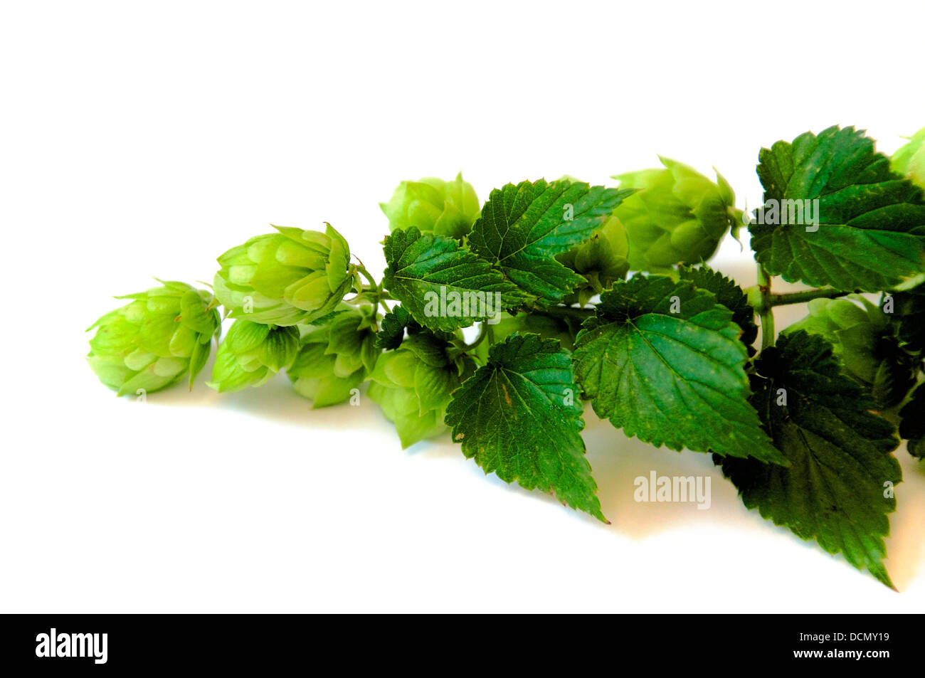 Branch of Hops with leaves and umbels - Stock Image