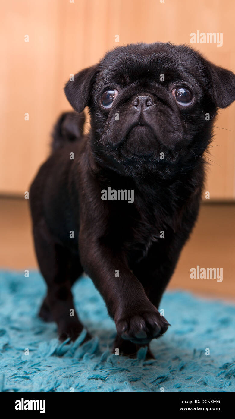 pug on parade walking puppy - Stock Image