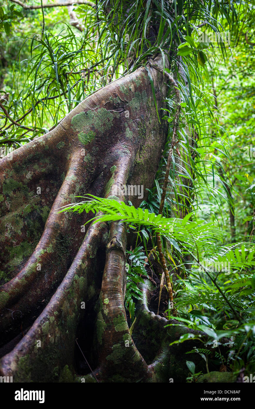 Buttress Roots on a tree in a tropical Rainforest, also known as Stilt or Prop Roots. - Stock Image