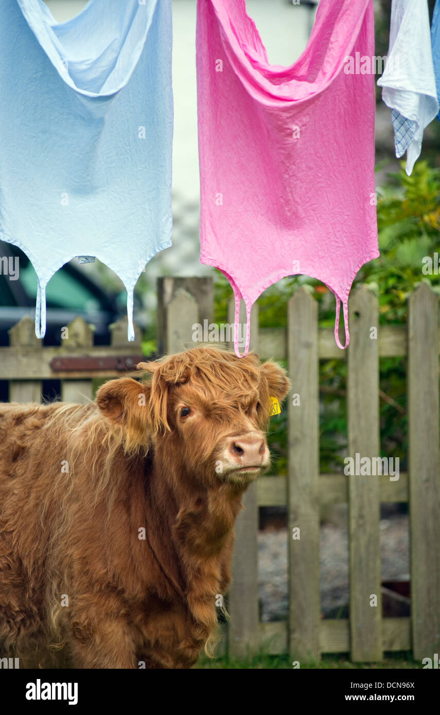 Highland cow and clothes drying on washing line, the Isle of Skye, Scotland, UK - Stock Image