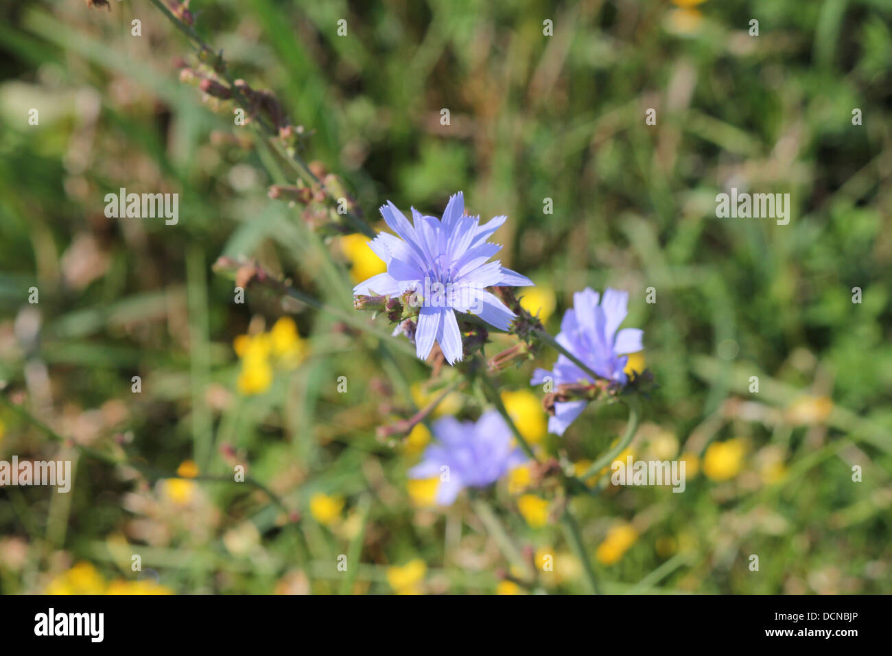 Chicory plant stock photos chicory plant stock images alamy pretty chicory plant with blue flowers in the grass beside a road stock image izmirmasajfo
