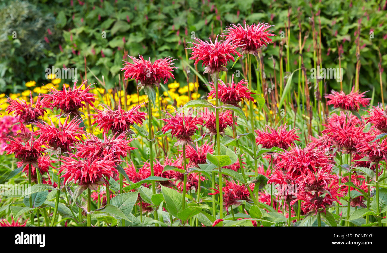 Striking red Monardia , Bergamot or Bee Balm in a herbaceous border at Waterperry Gardens in Oxfordshire UK - Stock Image
