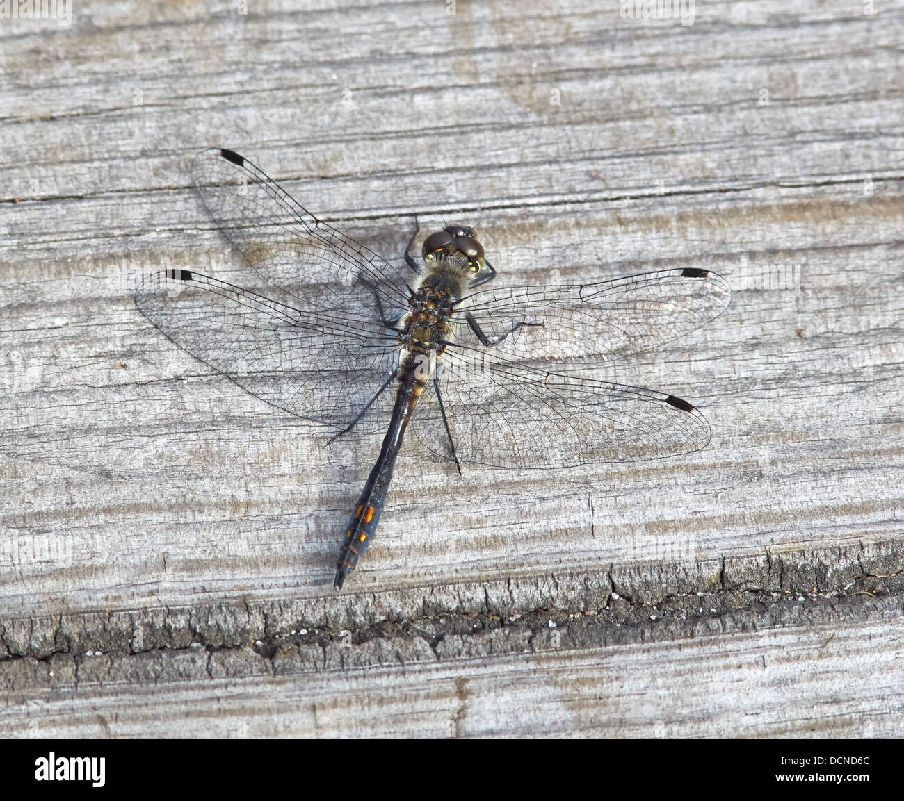 Male Black Darter Sympetrum danae resting on duckboards over marshland at Thursley Common Surrey UK Stock Photo