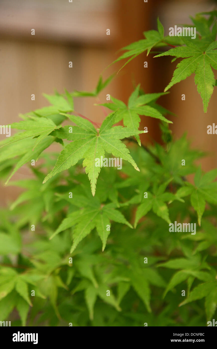 Green Japanese maple leaves - Stock Image
