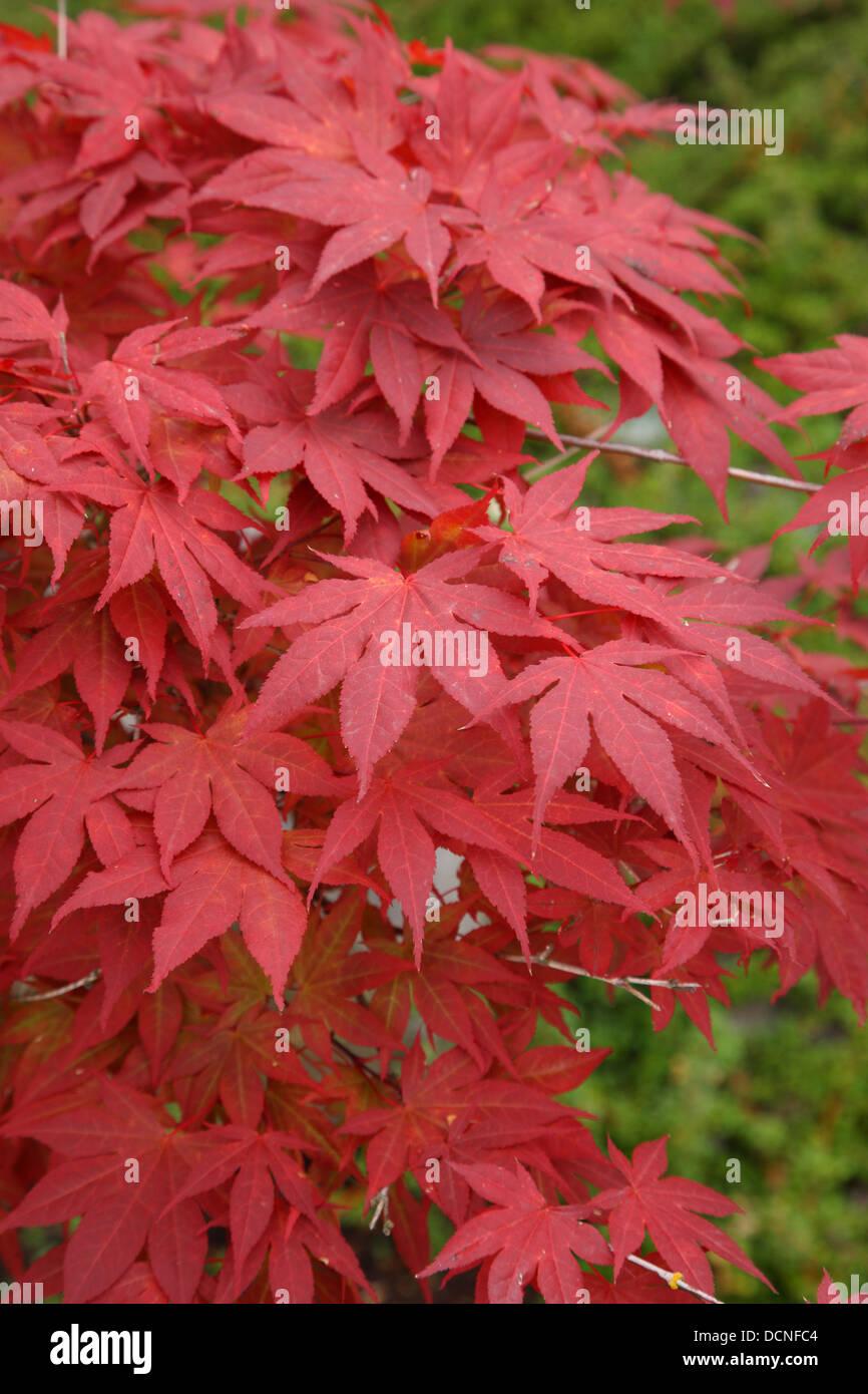 Red Japanese maple leaves Stock Photo