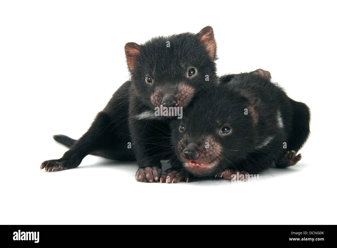 Tasmanian devil infants photographed on a white background, digitally adjusted ready for easy cut-out - Stock Image