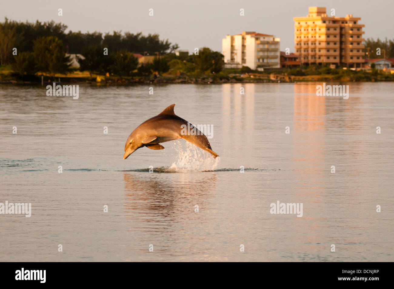 young dolphin Tursiops truncatus bottle nose jumping at sea in Laguna city, Santa Catarina state, Brazil - Stock Image