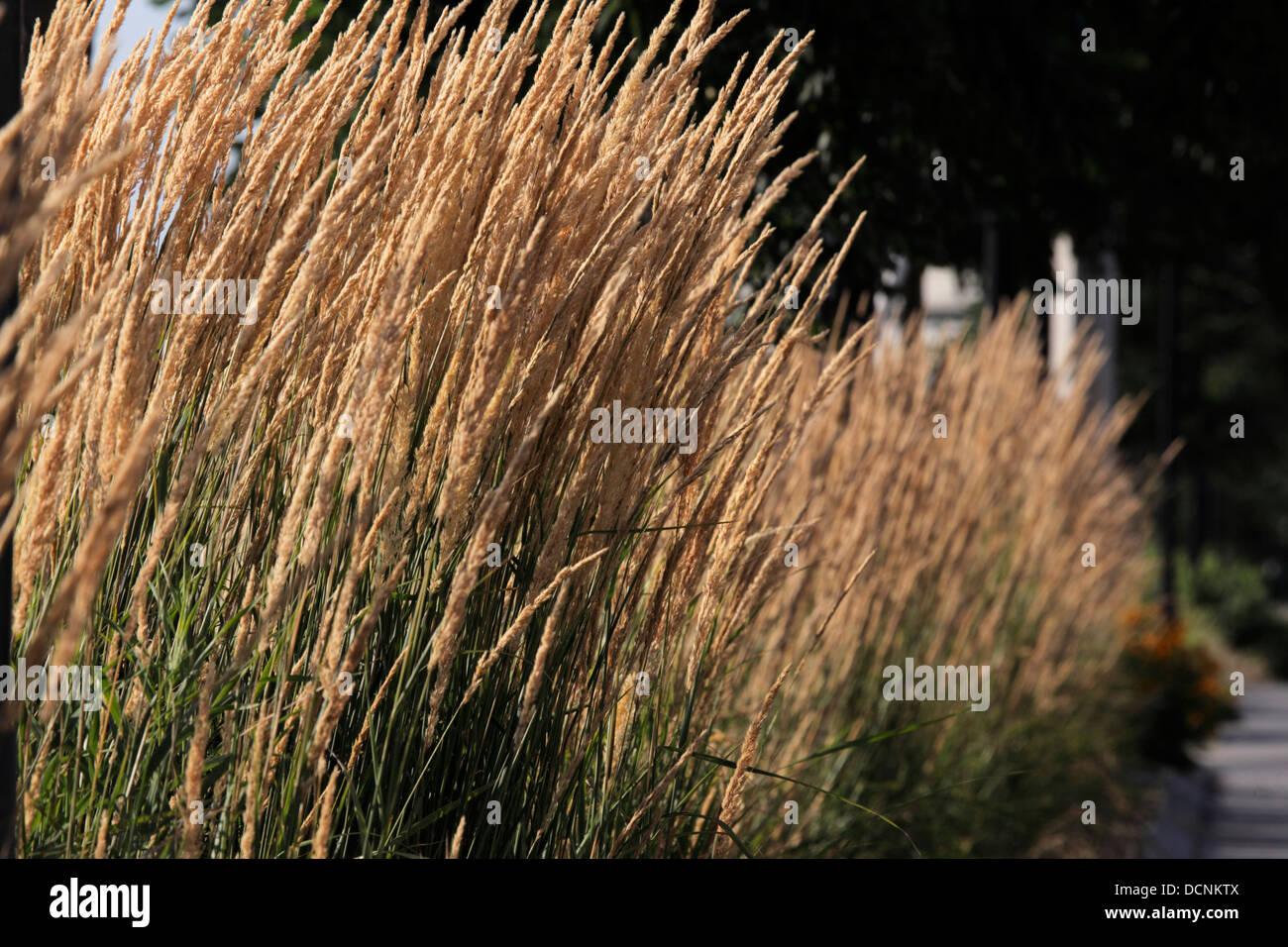 Tall Ornamental Grass Tall dry ornamental grass stock photo 59483562 alamy tall dry ornamental grass workwithnaturefo