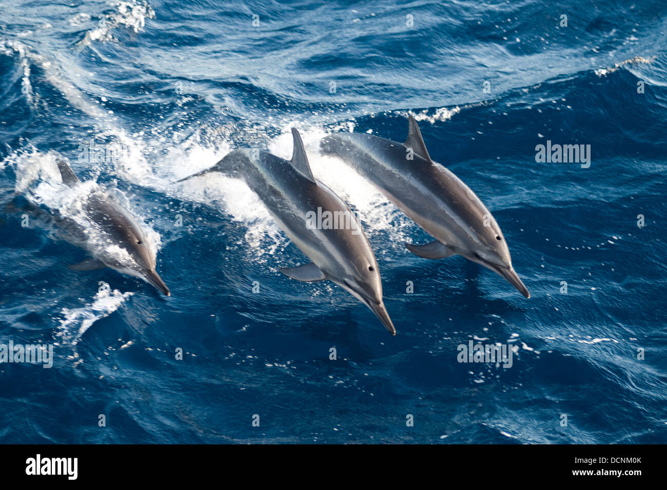 free wild dolphins swimming and jumping at sea offshore rio de stock