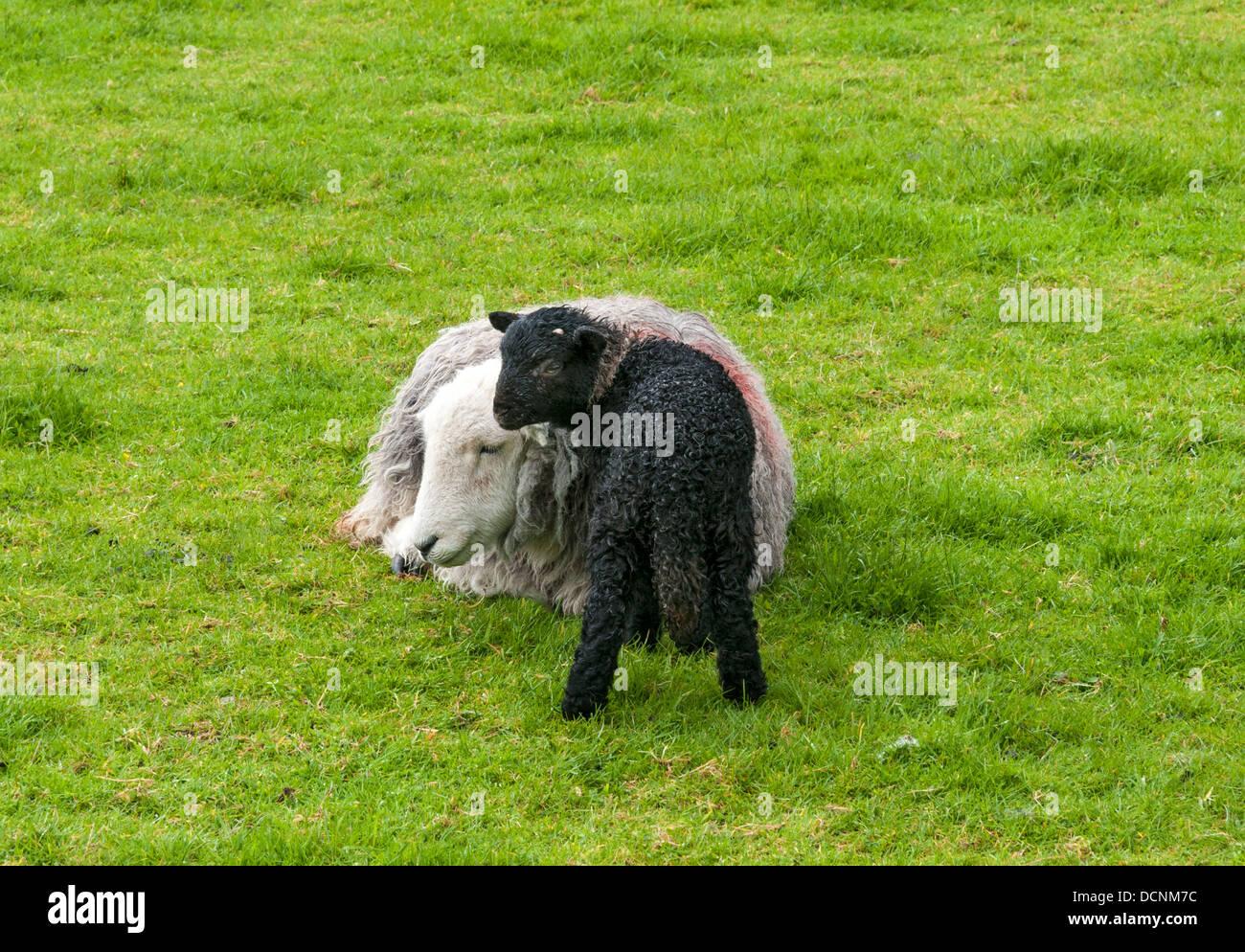Great Britain, England, Cumbria, Lake District, sheep, white ewe black lamb - Stock Image