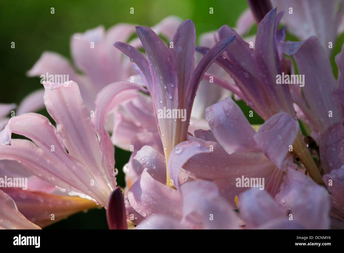 Pink Naked Lady Flowers Stock Photo 59484410 Alamy