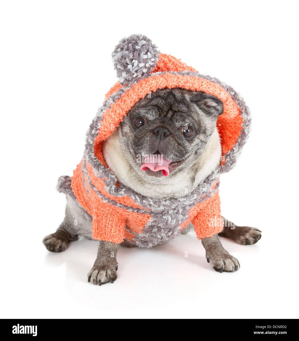 Pug dog isolated on white background - Stock Image