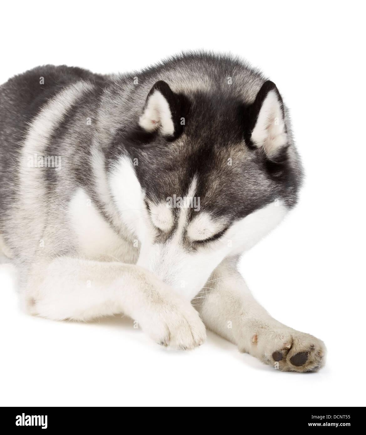 Siberian Husky isolated on white background - Stock Image