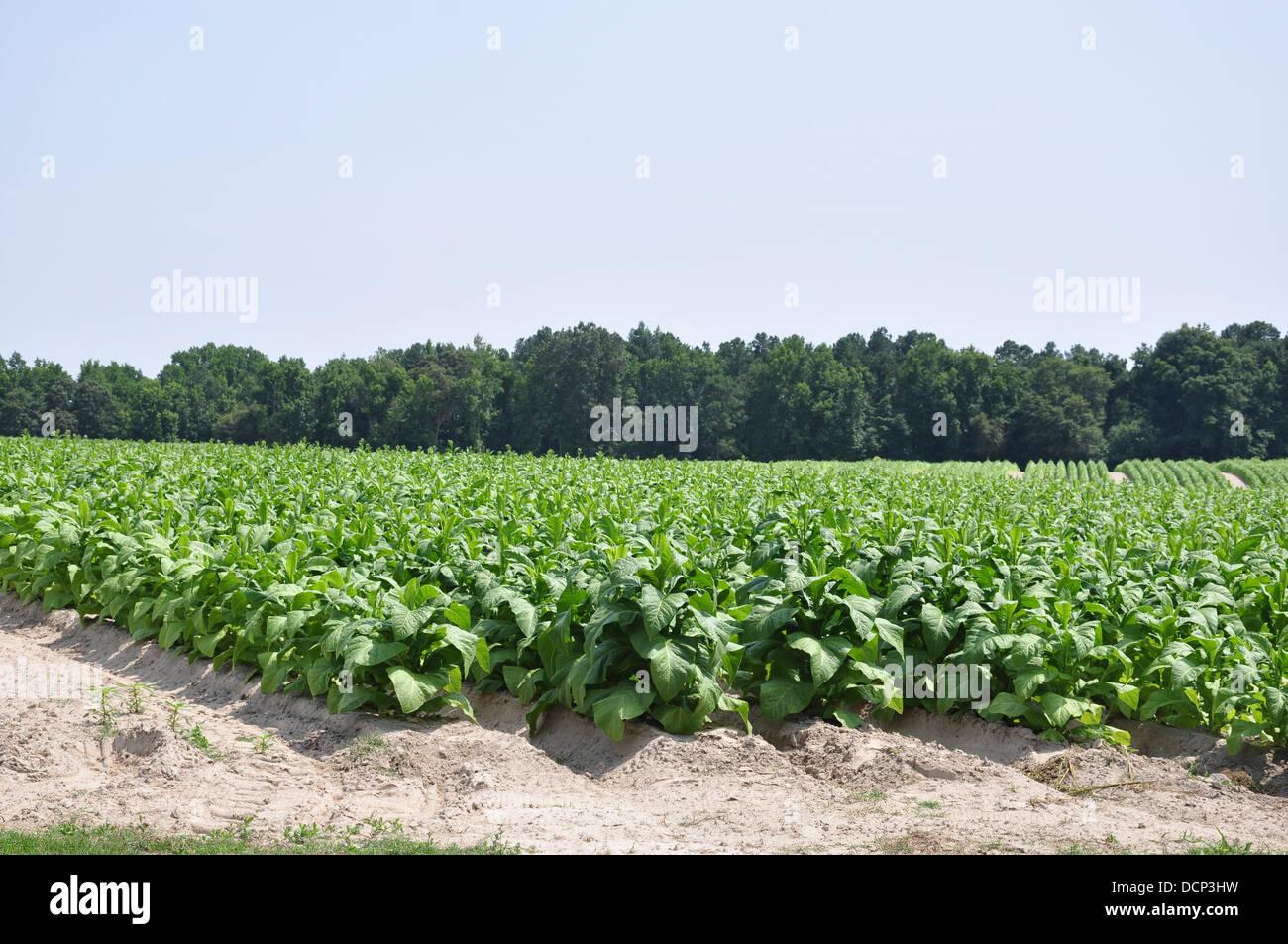 Tobacco Field - Stock Image