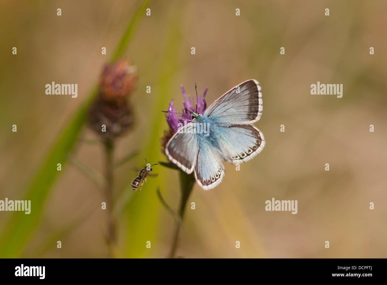Chalkhill Blue butterfly, Polyommatus coridon, feeding on knapweed with small bee, Barnack Hills and Holes, Cambridgeshire, - Stock Image