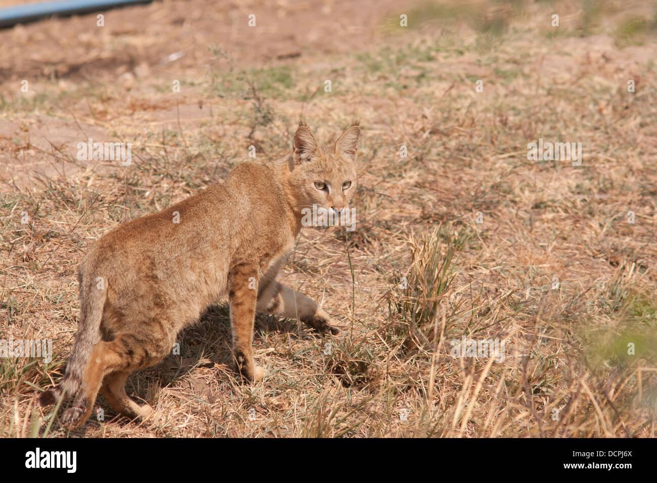 Jungle Cat, Felis chaus, Nalsarovar, Gujarat, India - Stock Image