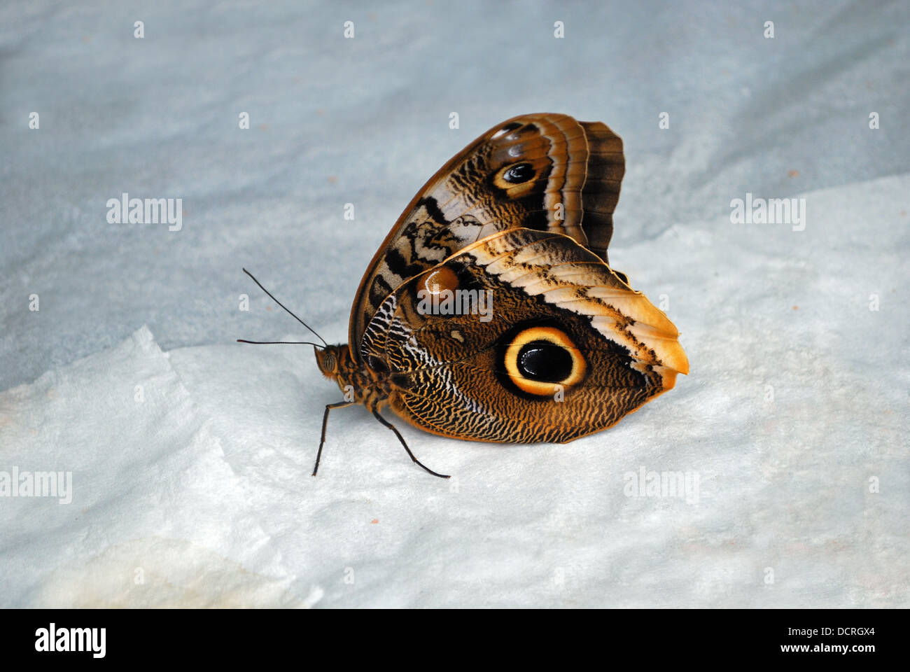 Owl butterfly (Caligo Memnon), Butterfly park (Mariposa de Benalmadena), Benalmadena, Spain, Western Europe. Stock Photo