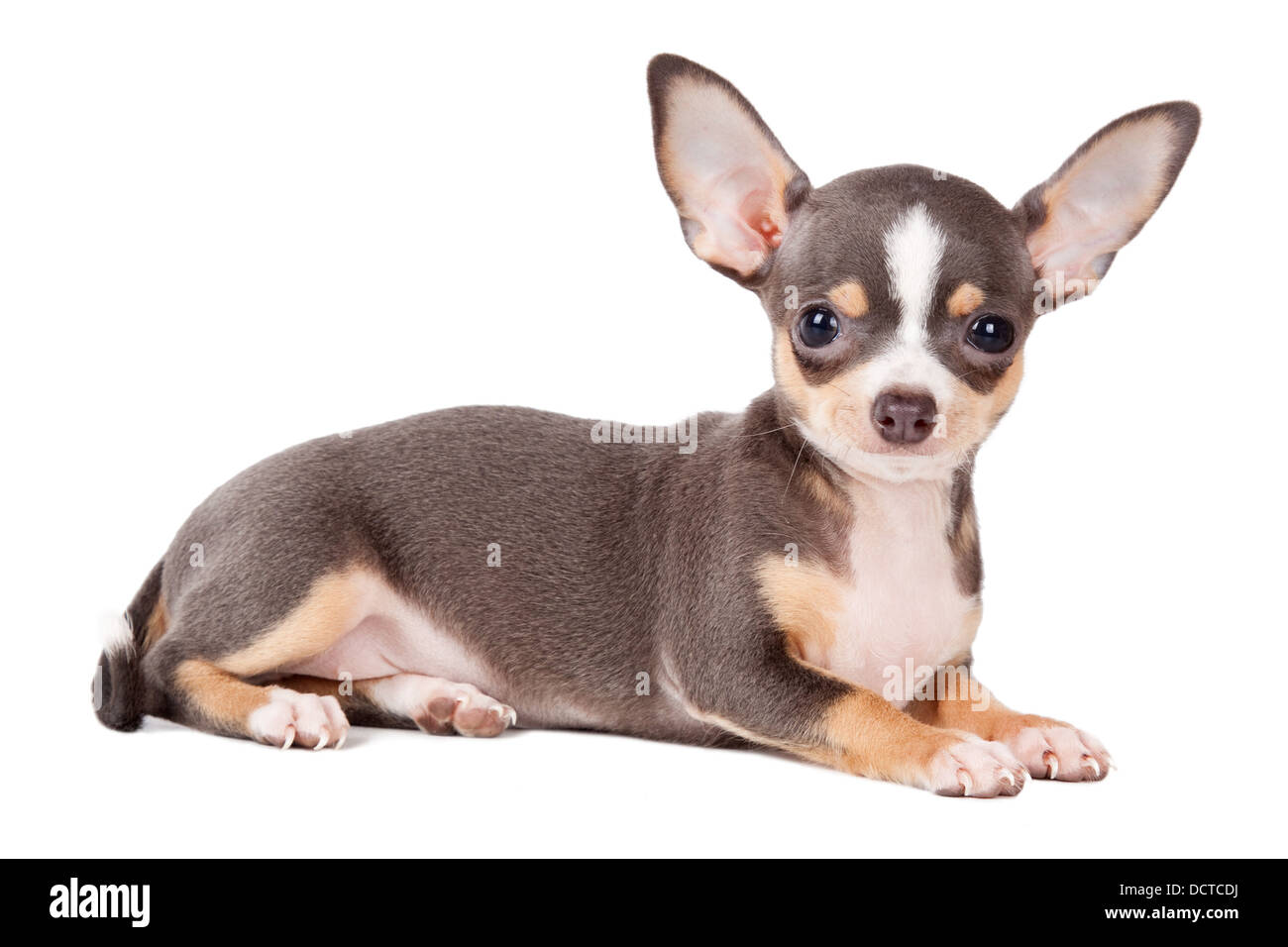 Young Chihuahua looking at the camera in a head shot, against a white background Stock Photo