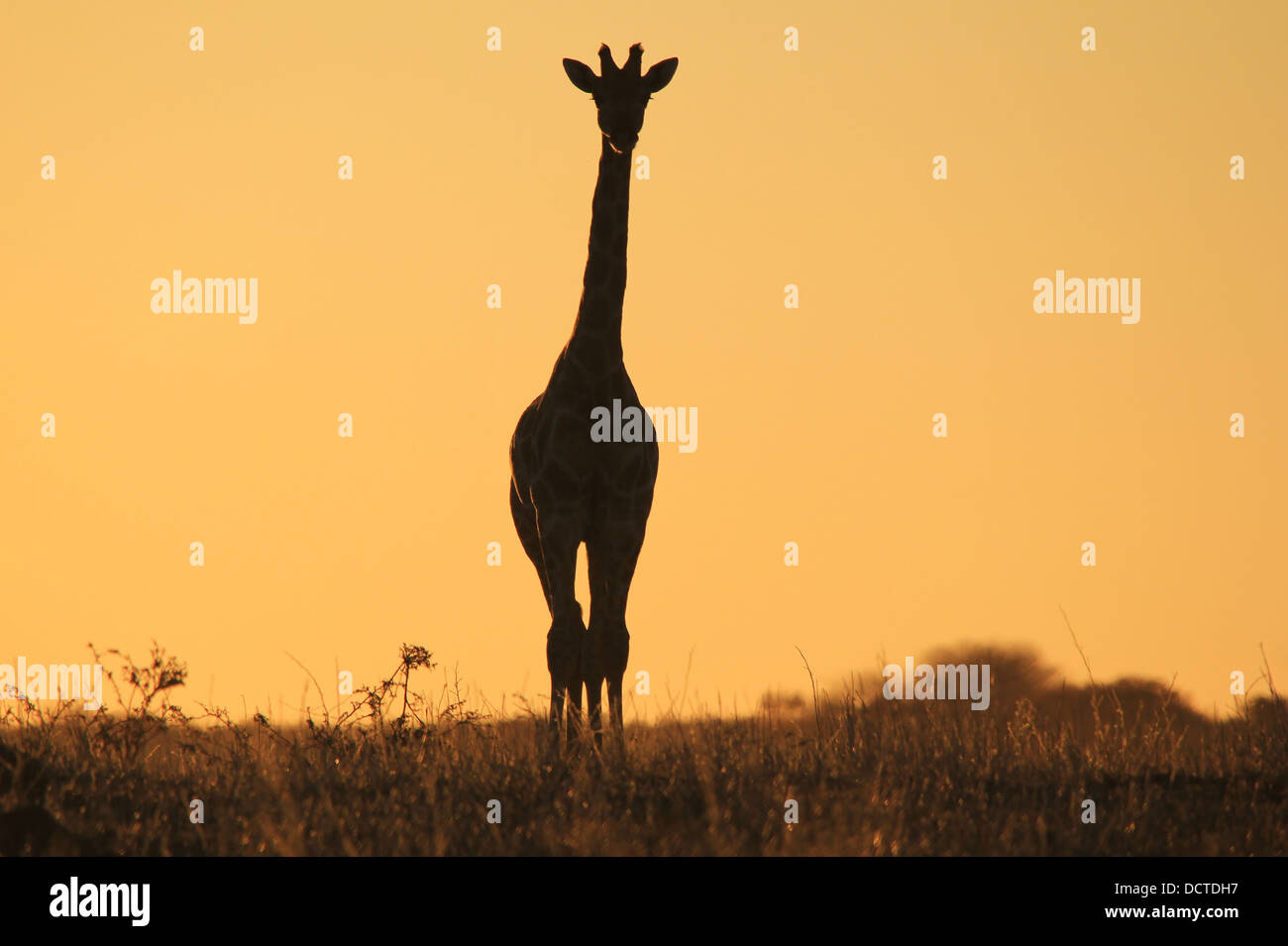 Giraffe Golden Gold stare from the Wilds of Africa.  Wildlife silhouette, color and background beauty. - Stock Image