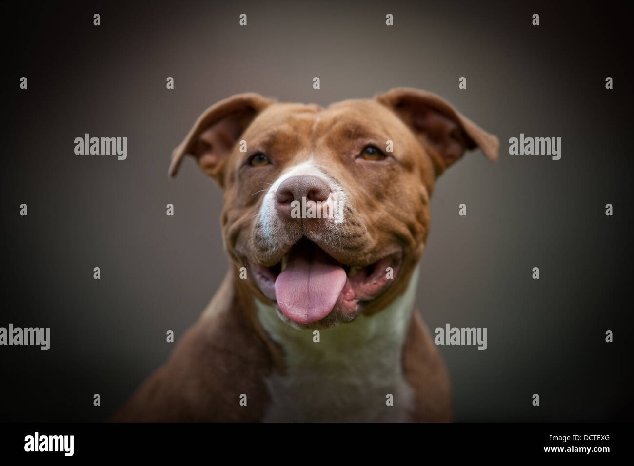 Studio Portrait of a dog - Stock Image