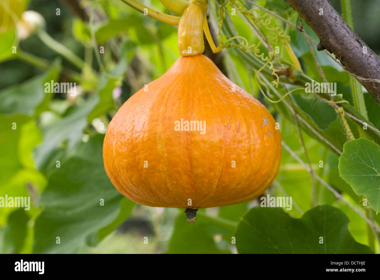 Squash growing on a frame for support. - Stock Image