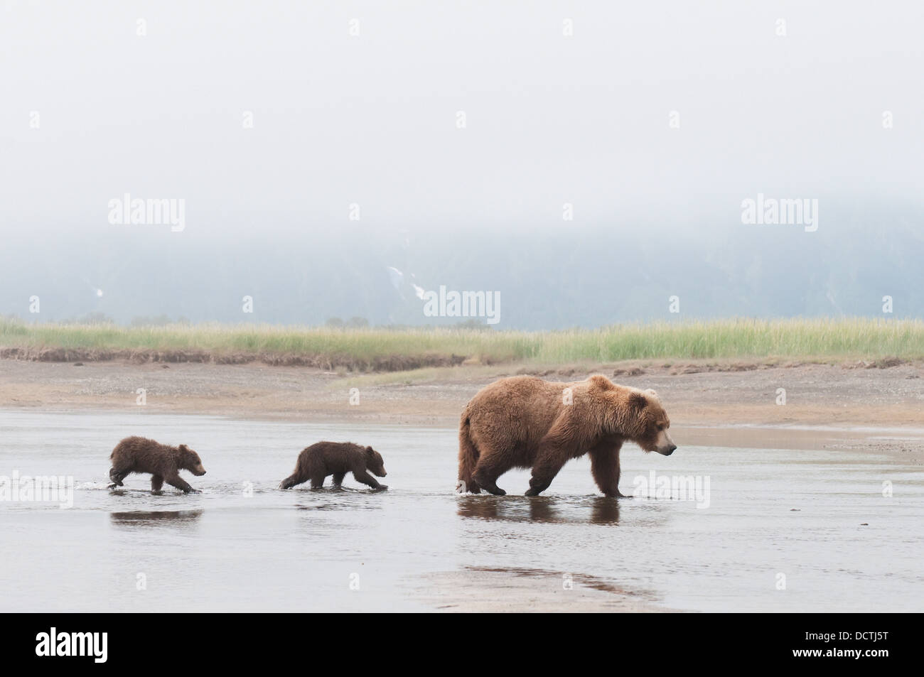 A Brown Grizzly Bear (Ursus Arctos Horribilis) Crossing A River With Her Two Cubs; Alaska, United States Of America - Stock Image