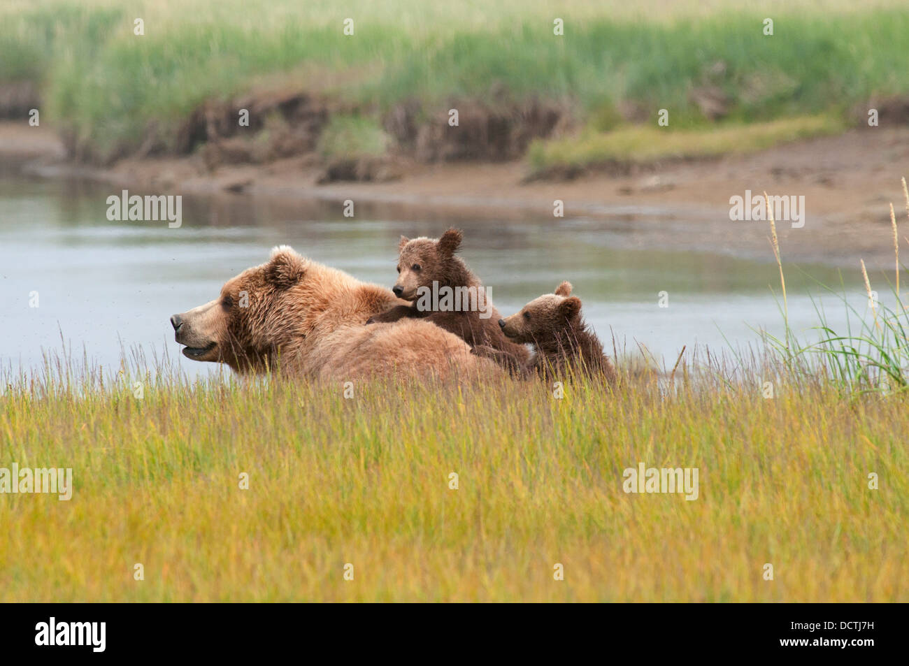 A Brown Grizzly Bear (Ursus Arctos Horribilis) With Her Two Cubs; Alaska, United States Of America - Stock Image