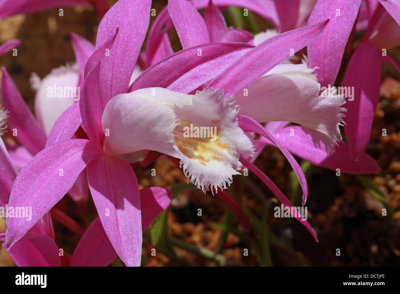 Windowsill Orchid or Taiwan Pleione, Pleione formosana, Orchidaceae. Syn. Pleione pricei, Pleione hui. Formosa, Stock Photo
