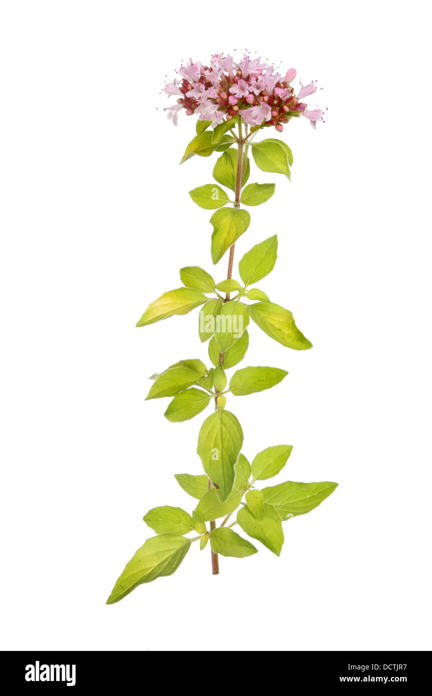 Flowering marjoram isolated a against white - Stock Image