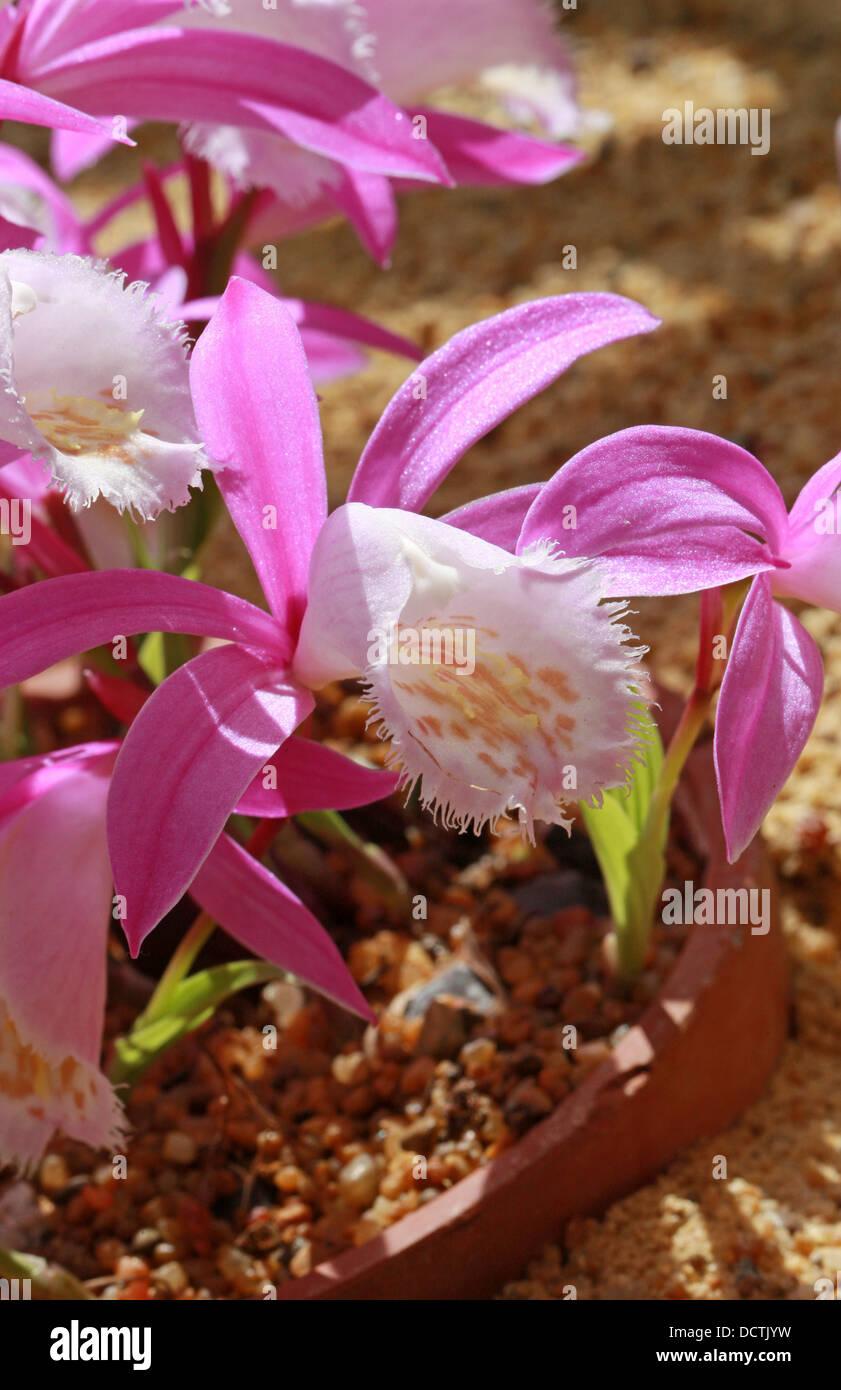 Windowsill Orchid or Taiwan Pleione, Pleione formosana, Orchidaceae. Syn. Pleione pricei, Pleione hui. Formosa, - Stock Image