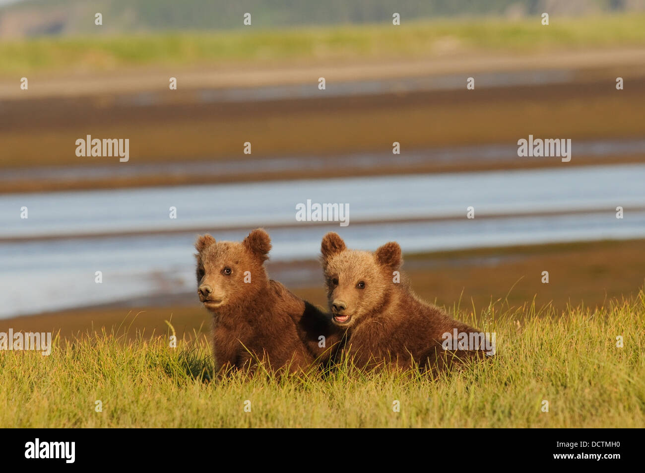Two Grizzly Bear (Ursus Arctos Horribilis) Cubs; Alaska, United States Of America - Stock Image