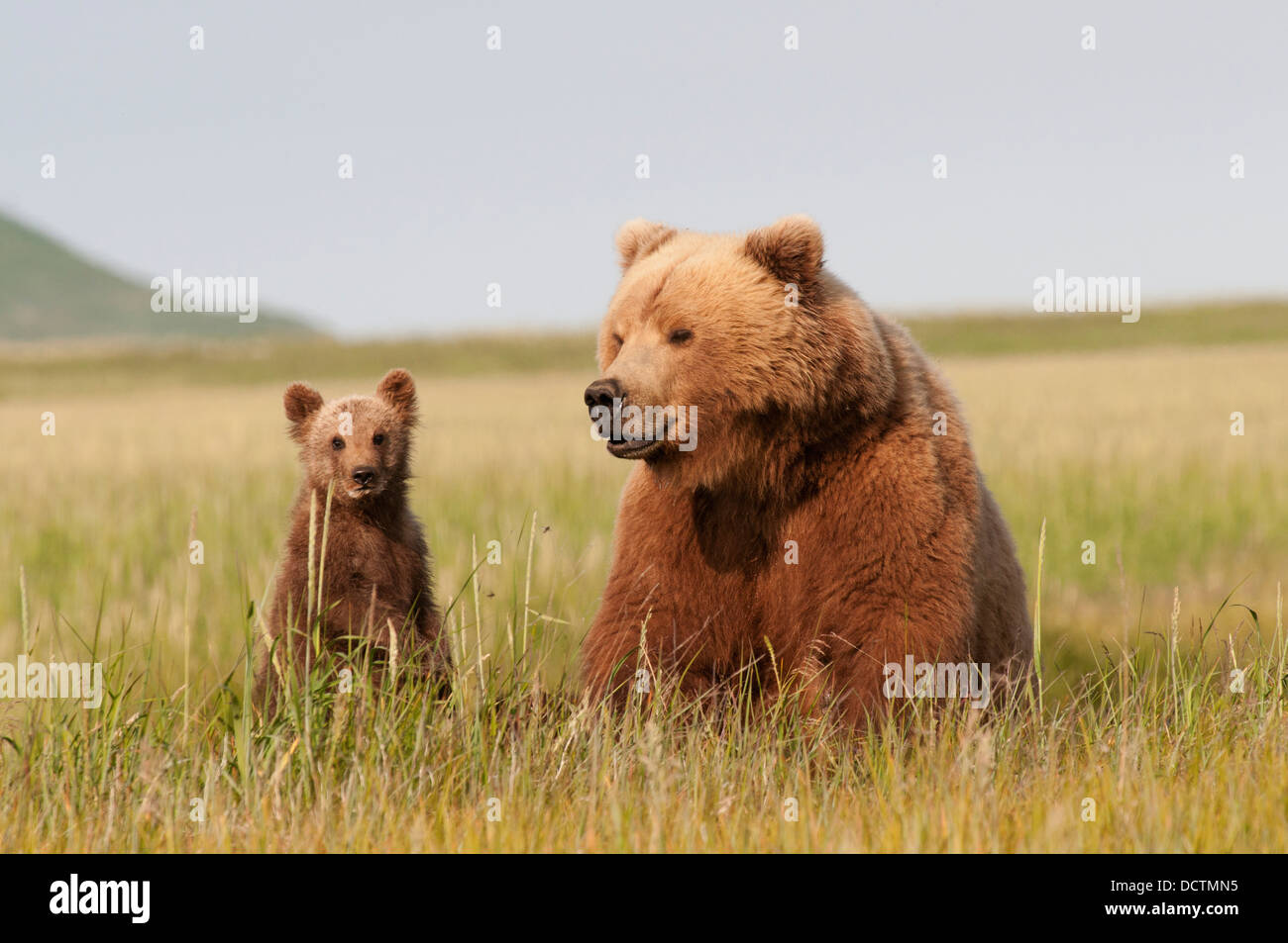 A Grizzly Bear (Ursus Arctos Horribilis) And Her Cub With Milk On It's Face; Alaska, United States Of America - Stock Image