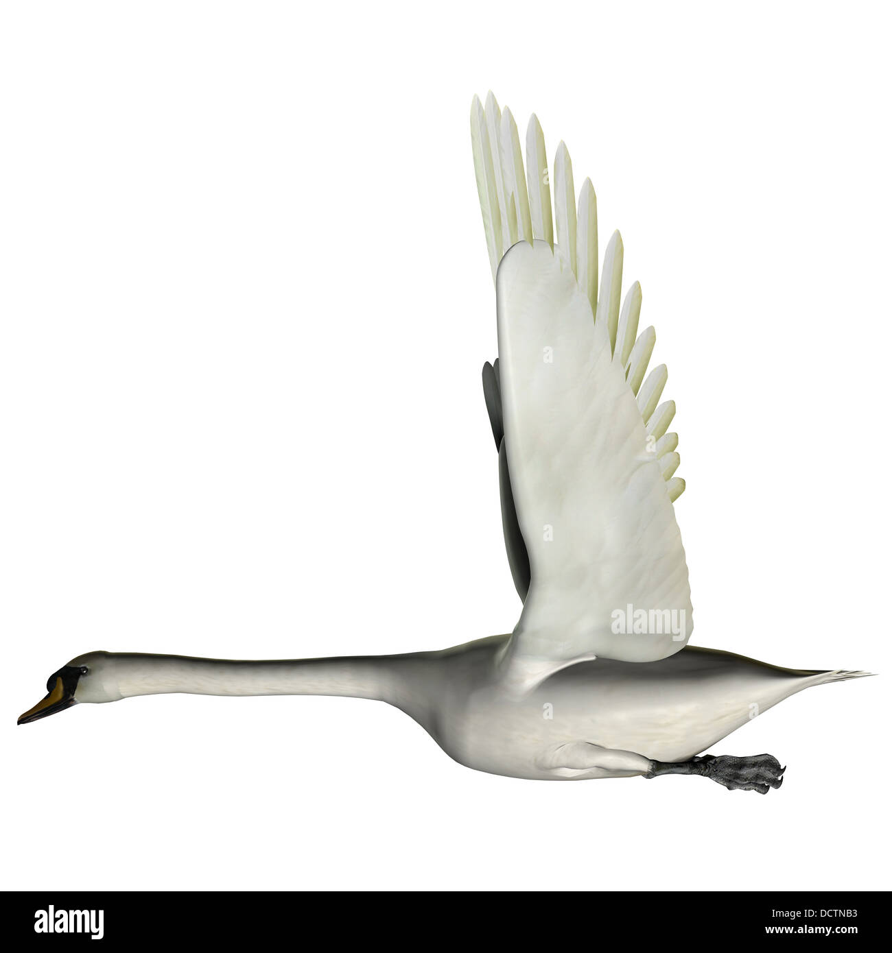 The Swan is from a genus of waterfowl and is among the largest flying birds. - Stock Image