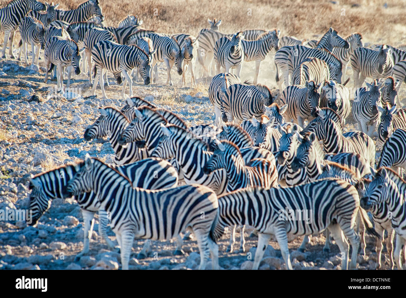 Herd or dazzle of Burchell's Zebras, Equus burchellii, coming to the Okaukuejo waterhole, Etosha National Park, Stock Photo