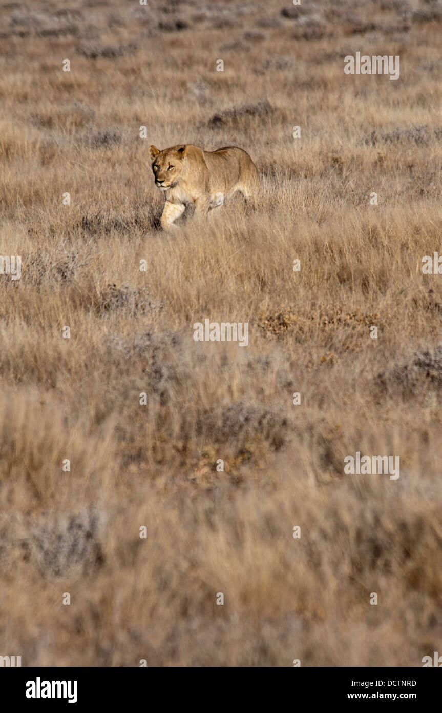 Young African Lioness, Panthera leo, walking in Etosha National Park, Namibia, West Africa - Stock Image