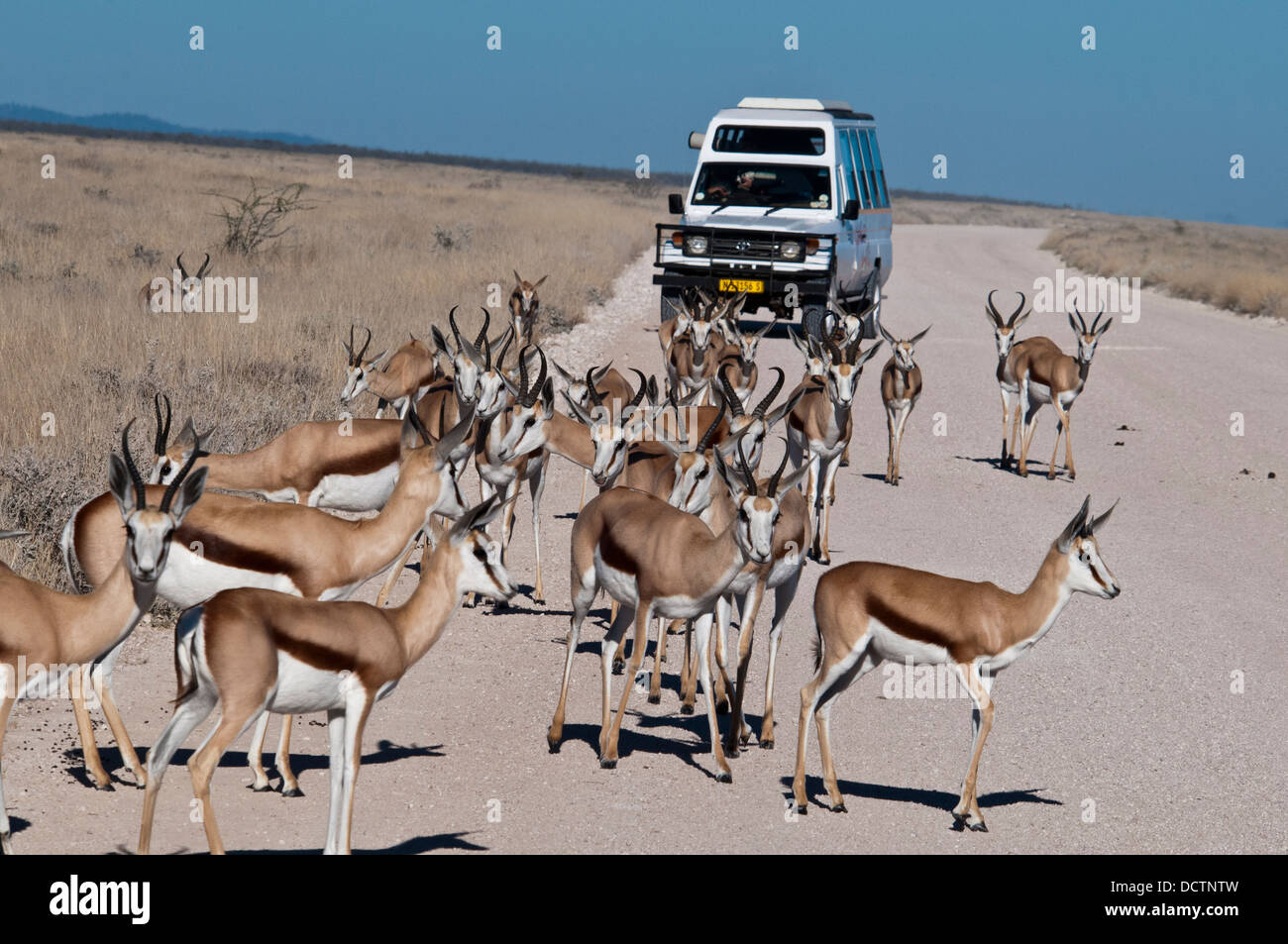 Tourists viewing a herd of Springbok, Antidorcas marsupialis, from a safari vehicle in Etosha National Park, Namibia, - Stock Image