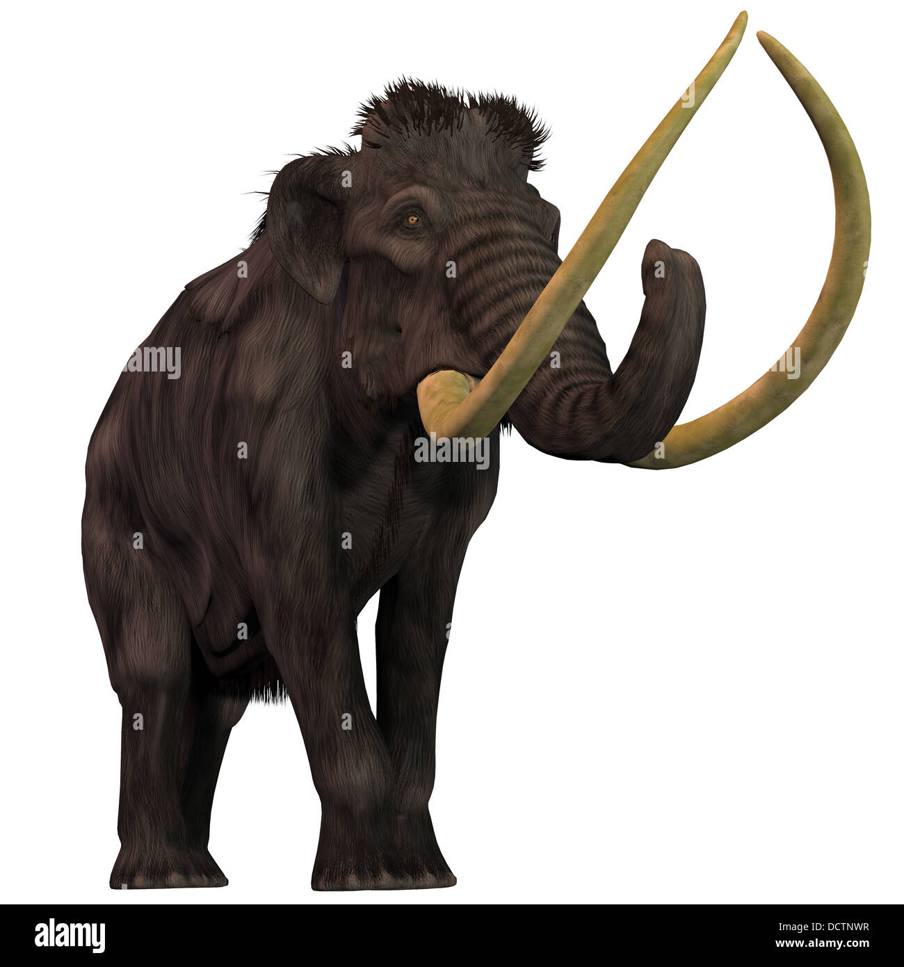 Woolly Mammoths are extinct herbivorous mammals that lived from the Pleistocene to the Holocene Periods. - Stock Image