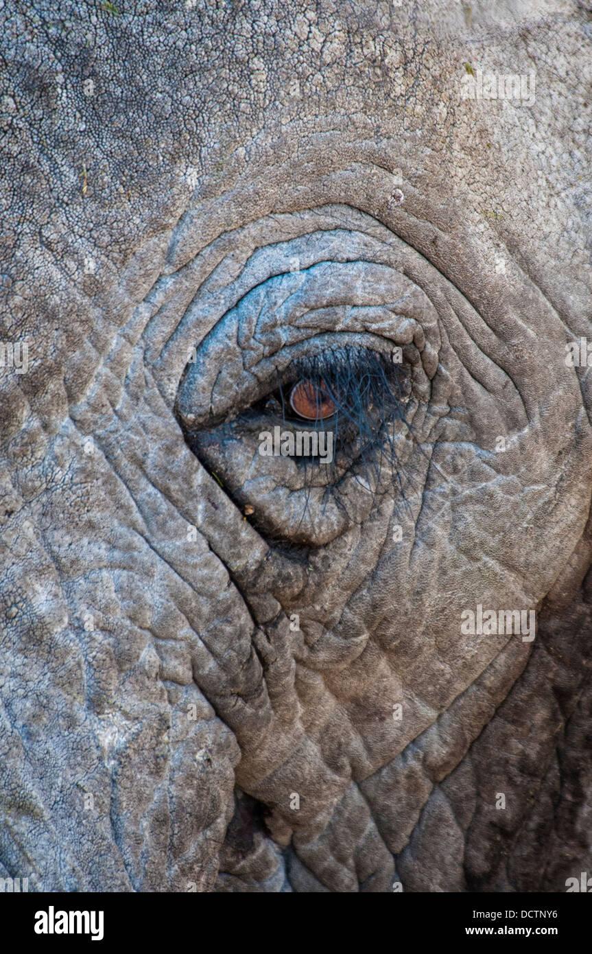 Close-up of the eye of an African Elephant, Loxodonta africana, Etosha National Park, Namibia, Africa, Elephant - Stock Image