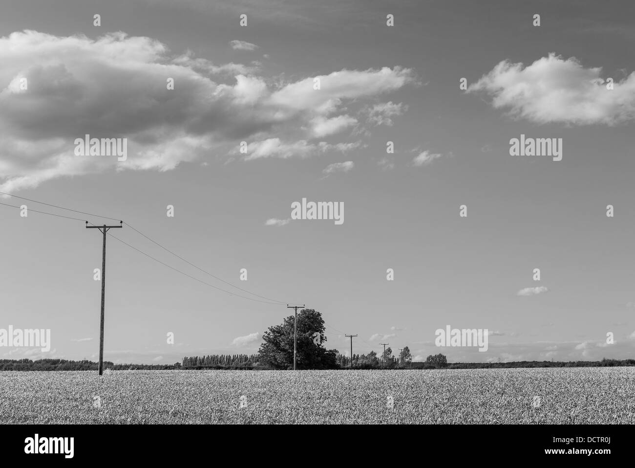 Summer wheat field with clouds in the sky. - Stock Image