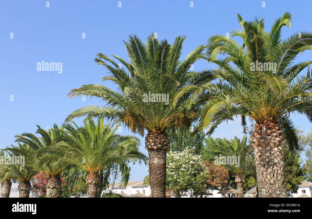Scenic view of green palm trees in tropical resort. - Stock Image