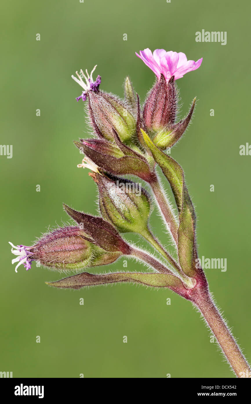 Red Campion - close up of the flowering head. Silene dioica Stock Photo