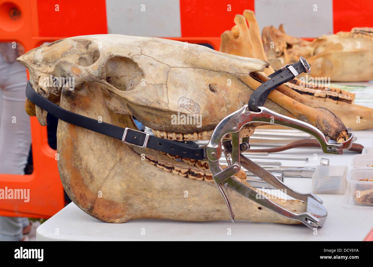 Horse skull wearing ( Hausman's ) dental gag - Stock Image
