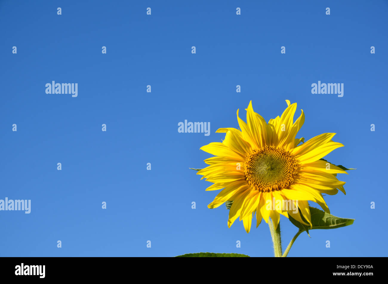 Single sunflower at a clear cloudless blue sky - Stock Image