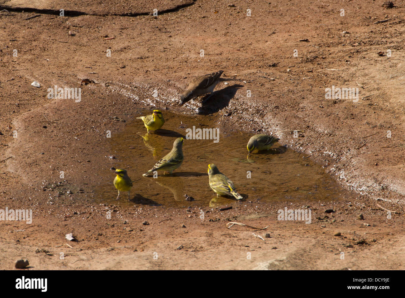 Small group of Cape Canary (Serinus canicollis) taking water-bath and drinking - Stock Image