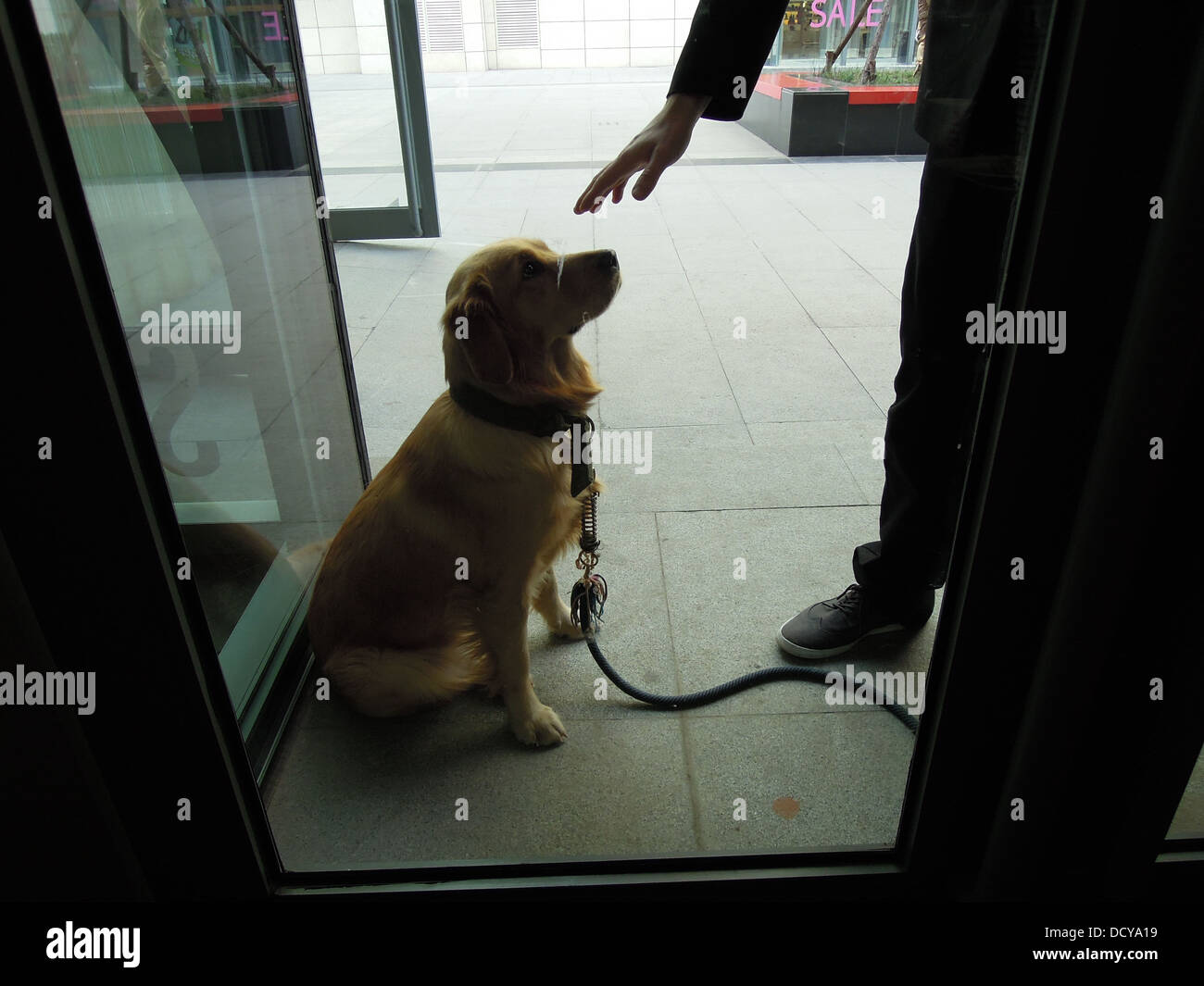 owner tell a golden retriever to sit outside the glass door of a coffee shop - Stock Image