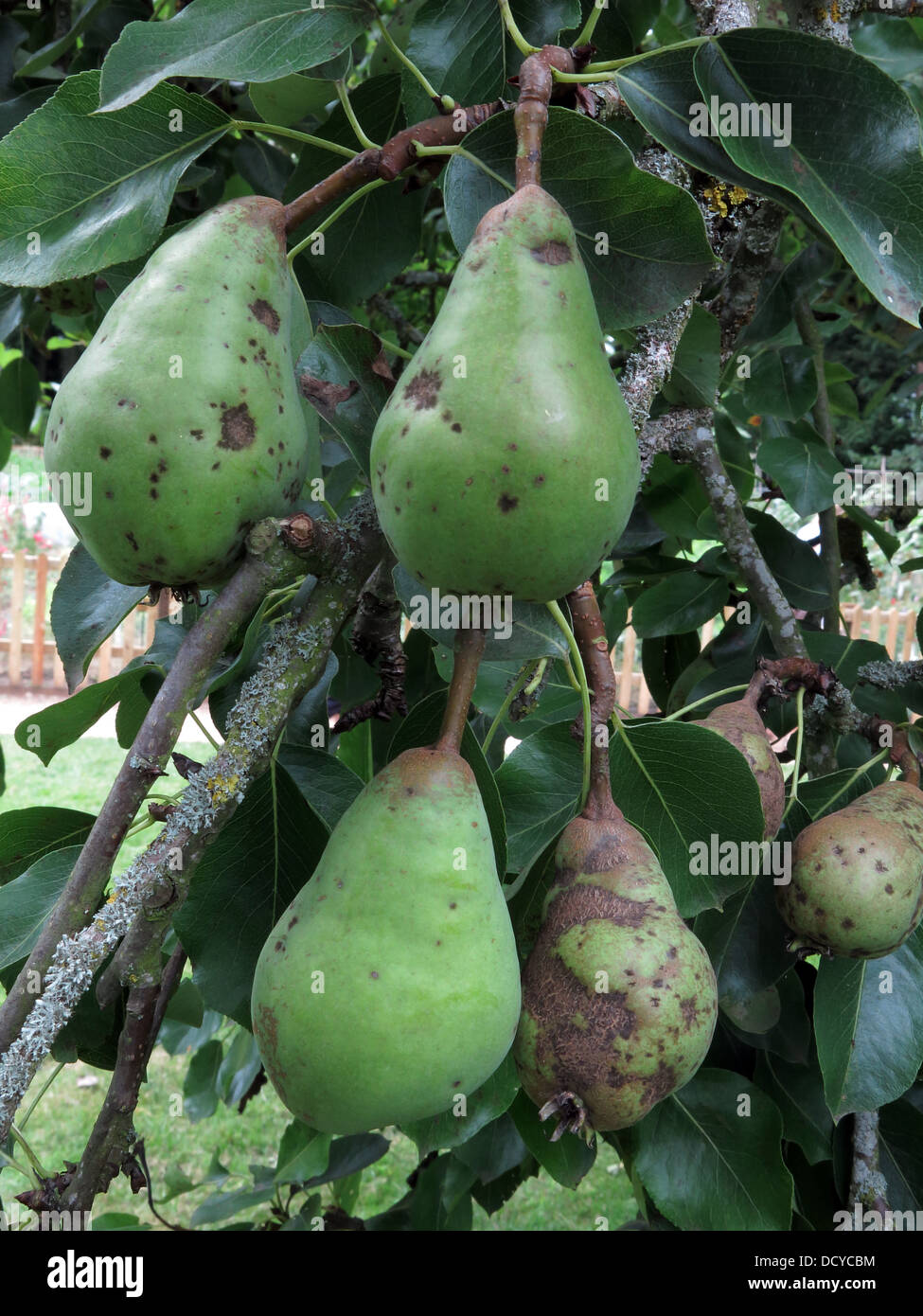 Pears on tree, autumn, ready for harvest, England, UK - Stock Image