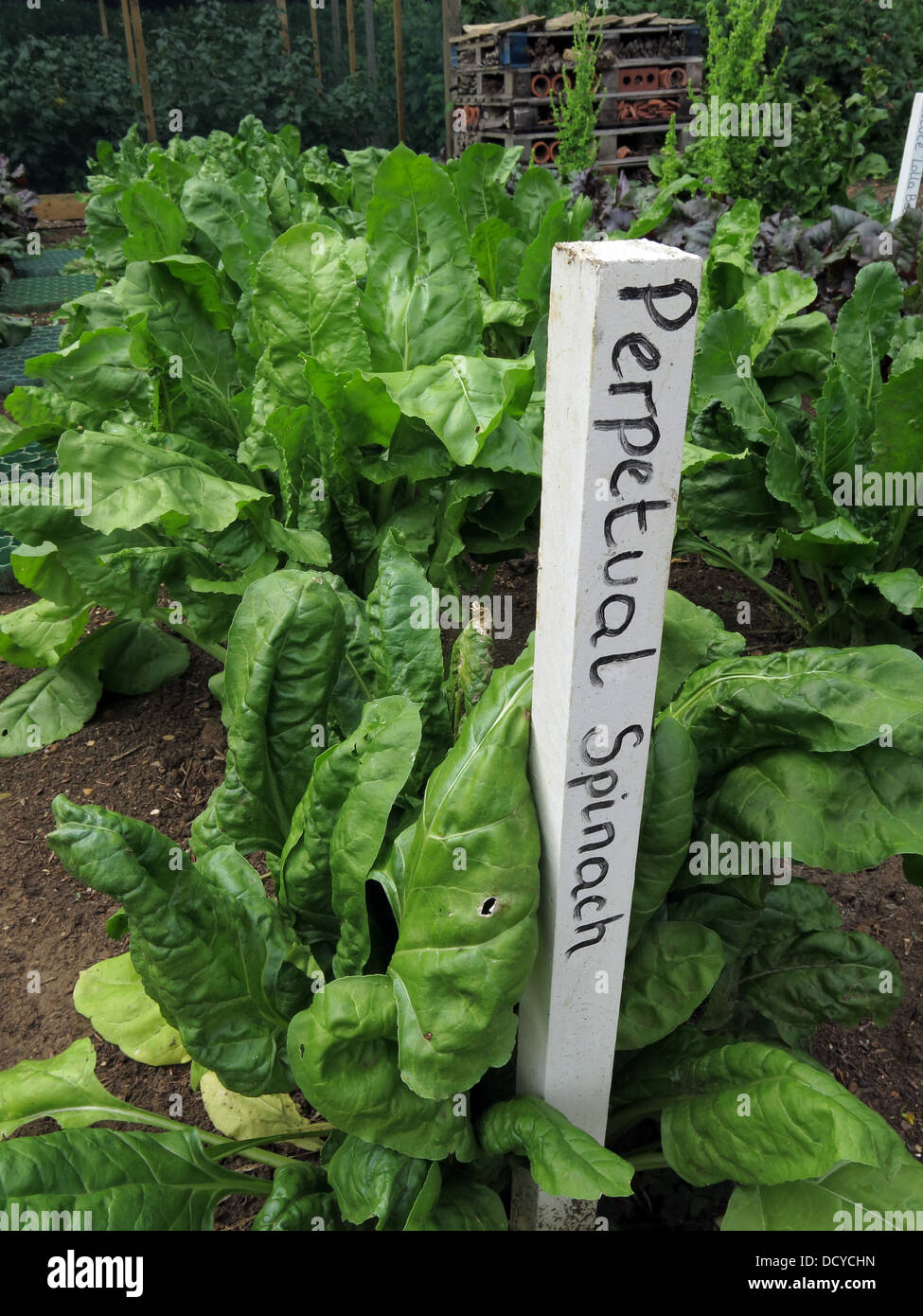 Growing food on the allotment Perpetual spinach - Stock Image